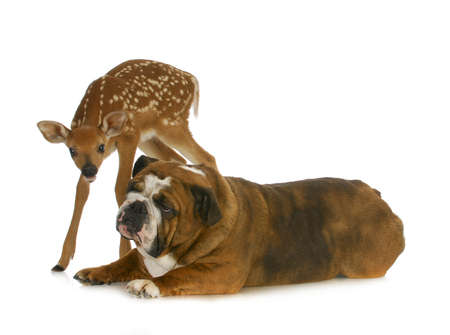 odd: dog and deer - english bulldog and fawn together on white background Stock Photo