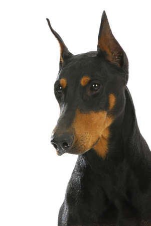 3 year old: guard dog - doberman pinscher head and shoulders on white background - 3 year old female