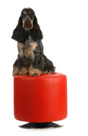 english cocker spaniel sitting on a red stool isolated on white background photo
