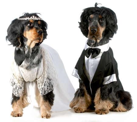 persiga a la novia y el novio - Inglés cocker spaniels vestidos con trajes de novia y del novio con pelucas en el fondo blanco