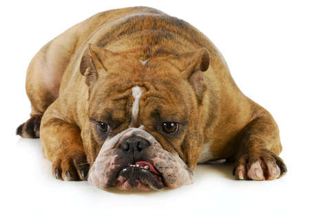 grumpy dog - english bulldog with grouchy expression laying down on white background photo