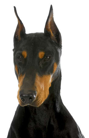 pinscher: doberman pinscher head profile on white background