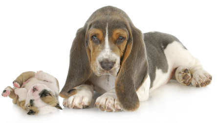 cute puppies - basset hound and english bulldog puppy isolated on white background photo