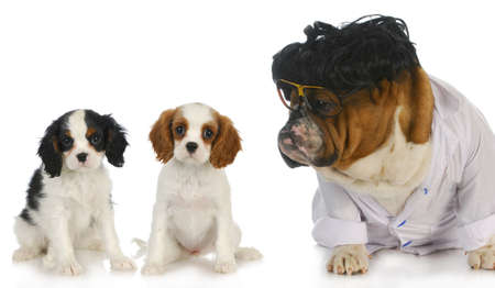 veterinary care - english bulldog doctor taking care of two cavalier king charles spaniel puppy patients on white background photo