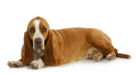 hound: basset hound laying down looking at viewer on white background Stock Photo