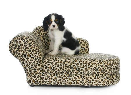 dog sitting on couch - cavalier king charles spaniel puppy sitting on dog couch isolated on white background photo