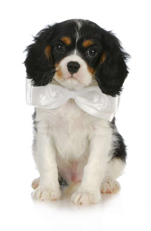 handsome puppy - cavalier king charles spaniel puppy wearing a white bow tie on white background photo