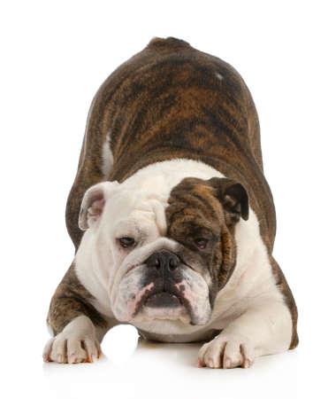 Hond Buigen Engels Hond Met Hoofd Naar Beneden En Kont