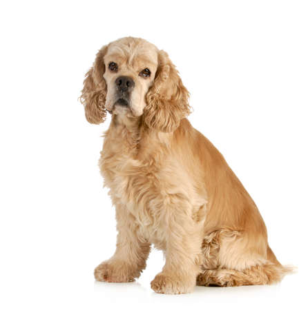 cocker spaniel: senior dog - american cocker spaniel sitting isolated on white background