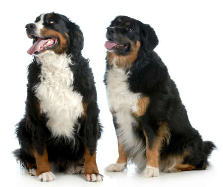 two big dogs - bernese mountain dog type dogs sitting looking up on white background photo