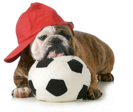 bull dog: sports hound - english dog laying down with head resting on soccer ball