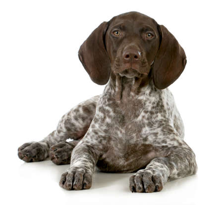 pointer dog: german short haired pointer puppy laying down on white background - 10 weeks old