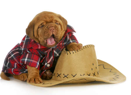 dogue de bordeaux: cute puppy - dogue de bordeaux puppy dressed like a country dog Stock Photo