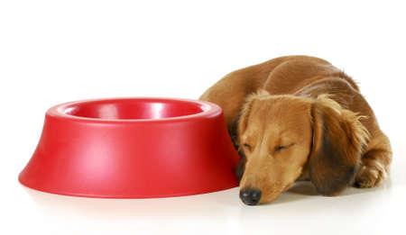lapdog: dog waiting to be fed - long haired miniature dachshund sleeping beside empty dog food dish isolated on white background Stock Photo