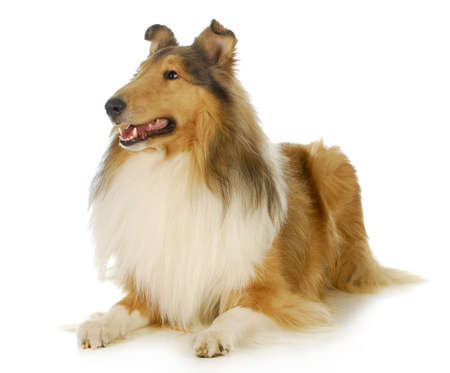 long haired: collie - rough coated collie laying down looking up isolated on white background Stock Photo