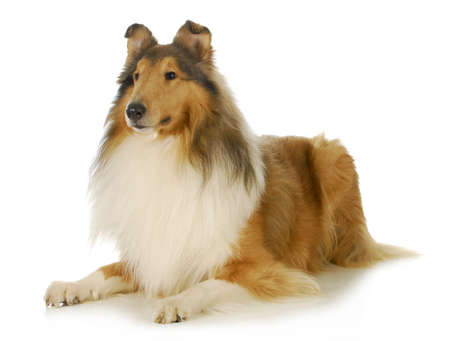 long haired: collie - rough coated collie laying down isolated on white background