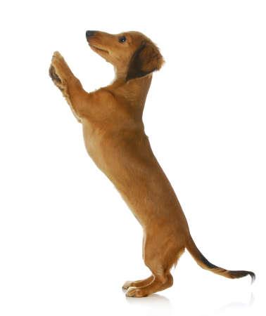 pes žebrání - dlouhé vlasy jezevčík vyskočil na bílém pozadí Reklamní fotografie