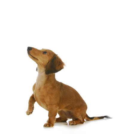 begging: dog begging - long haired dachshund looking up isolated on white background