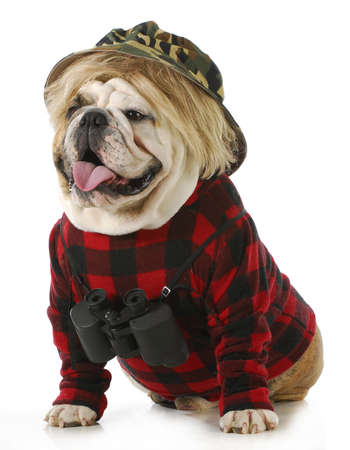 cap hunting dog: hunting dog - english dog wearing binoculars and hunting clothes isolated on white background