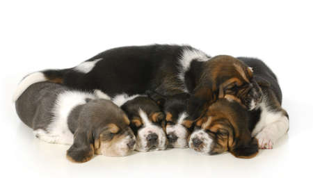 litter of puppies - 3 week old basset hound puppies sleeping on white background photo