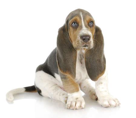 basset: basset hound puppy sitting on white background