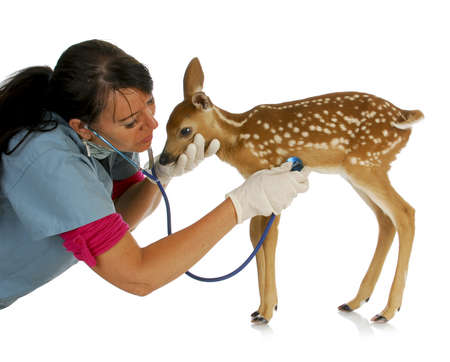 treating: wildlife veterinary care - veterinarian treating baby fawn isolated on white background Stock Photo