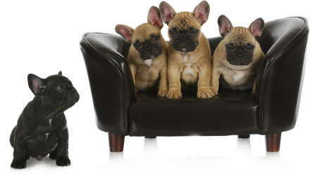 spiteful: concept of bullying - three similar french dogs sitting together on dog couch while different one is separated isolated on white background