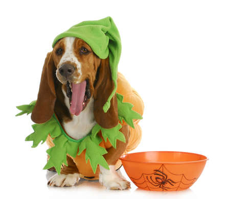 treat like a dog: halloween dog - basset hound dressed up like a pumpkin sitting beside trick or treat bowl on white background Stock Photo