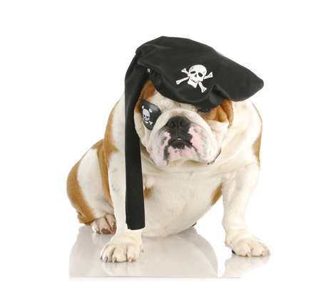 pirate - english dog wearing pirate costume isolated on white background photo
