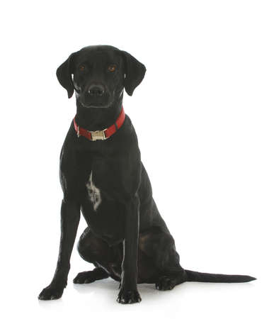Black Labrador retriever sentada cruz que mira el espectador aislado sobre fondo blanco Foto de archivo
