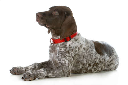 pointer dog: german shorthaired pointer wearing red collar laying down looking up isolated on white background