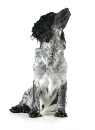 dog looking up - english cocker spaniel cross sitting looking up isolated on white background photo