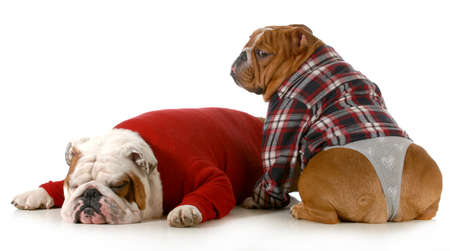 dog couple - english bulldog couple isolated on white background photo