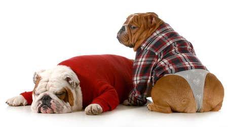 pes pár - anglický buldok pár izolovaných na bílém pozadí
