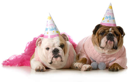 birthday dog - english bulldogs wearing party clothes and birthday hats isolated on white background Stock Photo