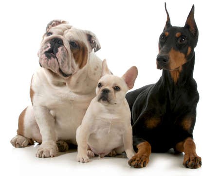 three different breeds of dogs isolated on white background - french bulldog, english bulldog and doberman pinscher photo