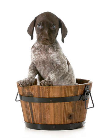 puppy bath - german shorthaired pointer in a wash basin isolated on white background