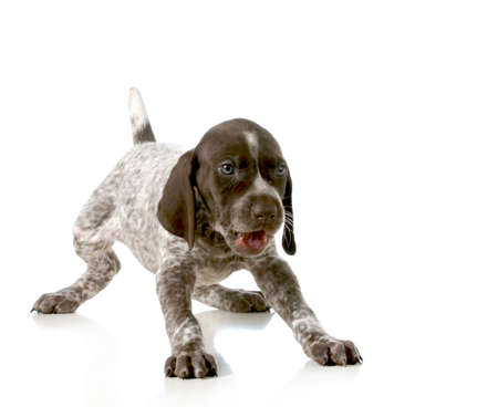 weeks: playful puppy - german short haired pointer puppy isolated on white background - 5 weeks old