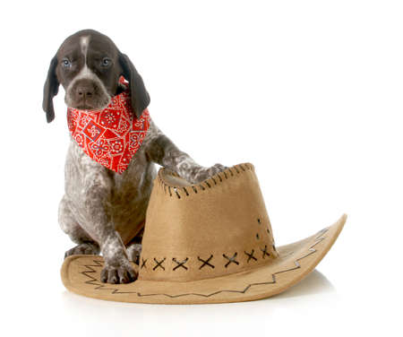 weeks: country dog - german shorthaired pointer sitting beside western hat isolated on white background - 5 weeks old