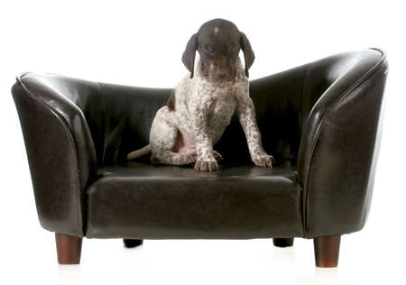 haired: cute puppy - german short haired pointer puppy sitting on couch with eyes closed - 5 weeks old Stock Photo