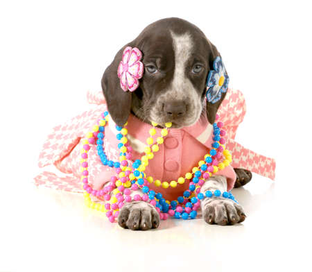 barrettes: female puppy - german short haired pointer puppy dressed up in girls clothing isolated on white background - 5 weeks old