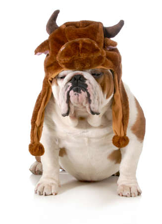 bulldog - english bulldog dressed up like a bull isolated on white background photo