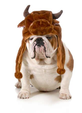 bulldog - english bulldog dressed up like a bull isolated on white background