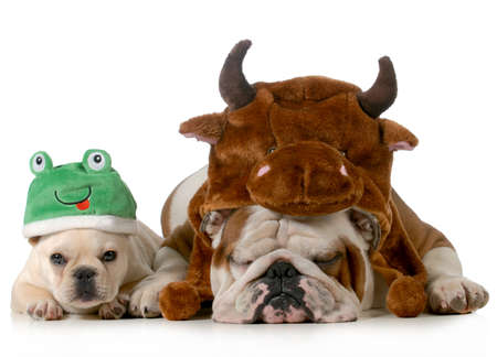 male bull: english bulldog and french bulldog dressed up like bull and frog isolated on white background