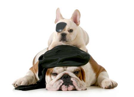 perros vestidos: pirata perros - Inglés y francés bulldogs vestidos como piratas en el fondo blanco