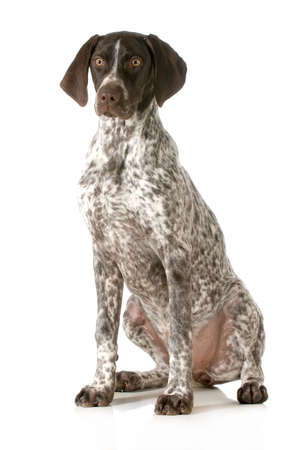 german shorthaired pointer sitting looking at viewer isolated on white background photo