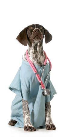 short hair dog: german short-haired pointer dressed as a vet on white background