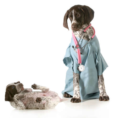 veterinary care - german shorthaired pointer dressed as a veterinarian looking after sick puppy isolated on white background photo