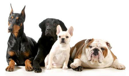 four different breeds of dogs laying together isolated on white background Stock Photo