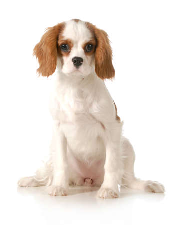 cavalier king charles spaniel female puppy sitting looking at viewer on white background photo